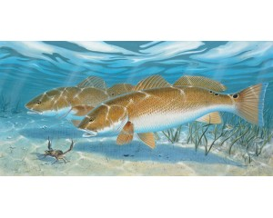 Redfish Canvas